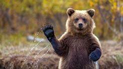 حرکت عجیب یک خرس پس از آزادسازی در طبیعت+فیلم دیدنی